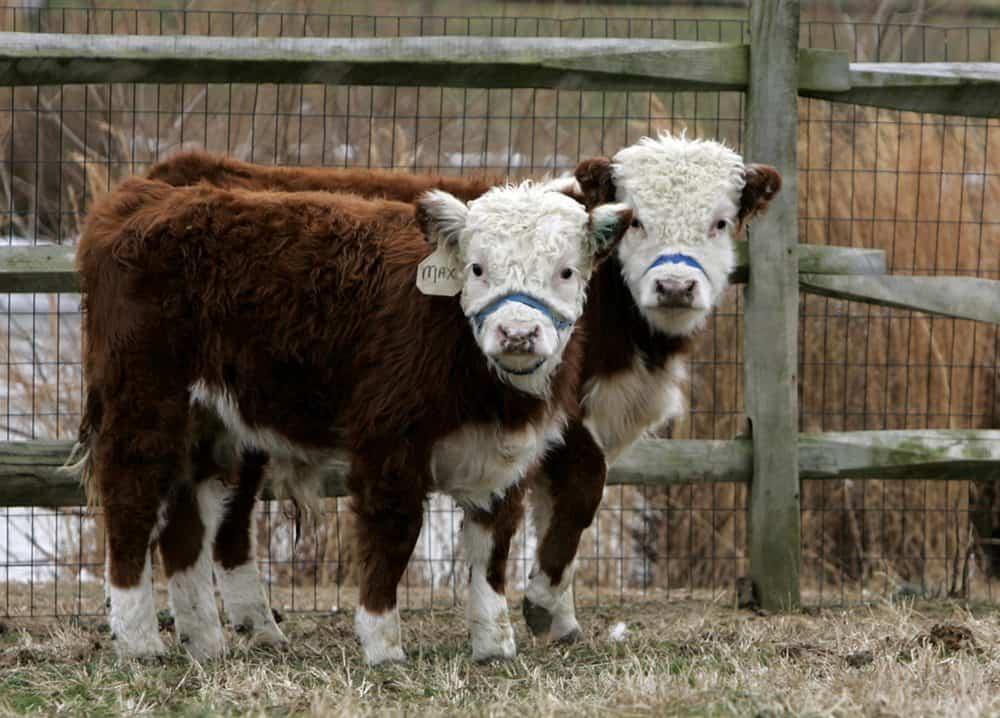 What Are Mini Cows