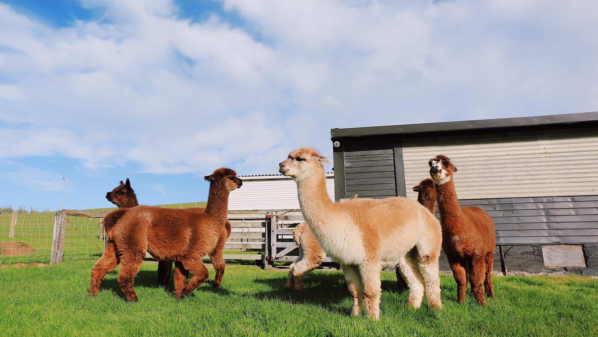 Alpacas and Llamas
