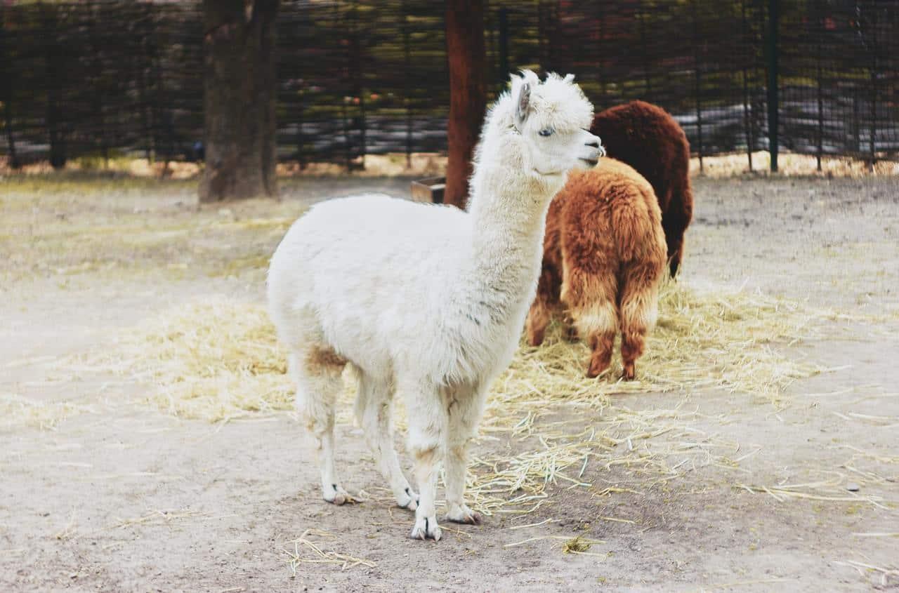 Alpacas vs llamas – Size