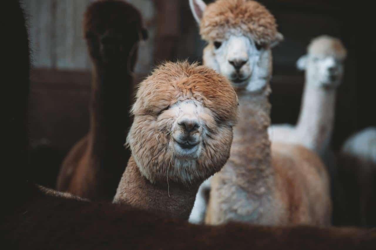 Cute Alpacas