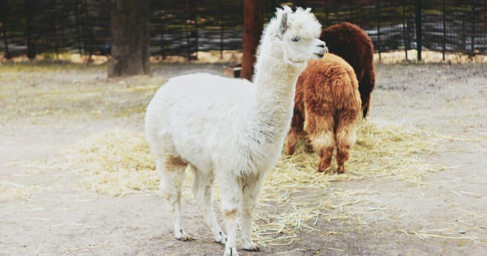 Differences Between Llamas and Alpacas
