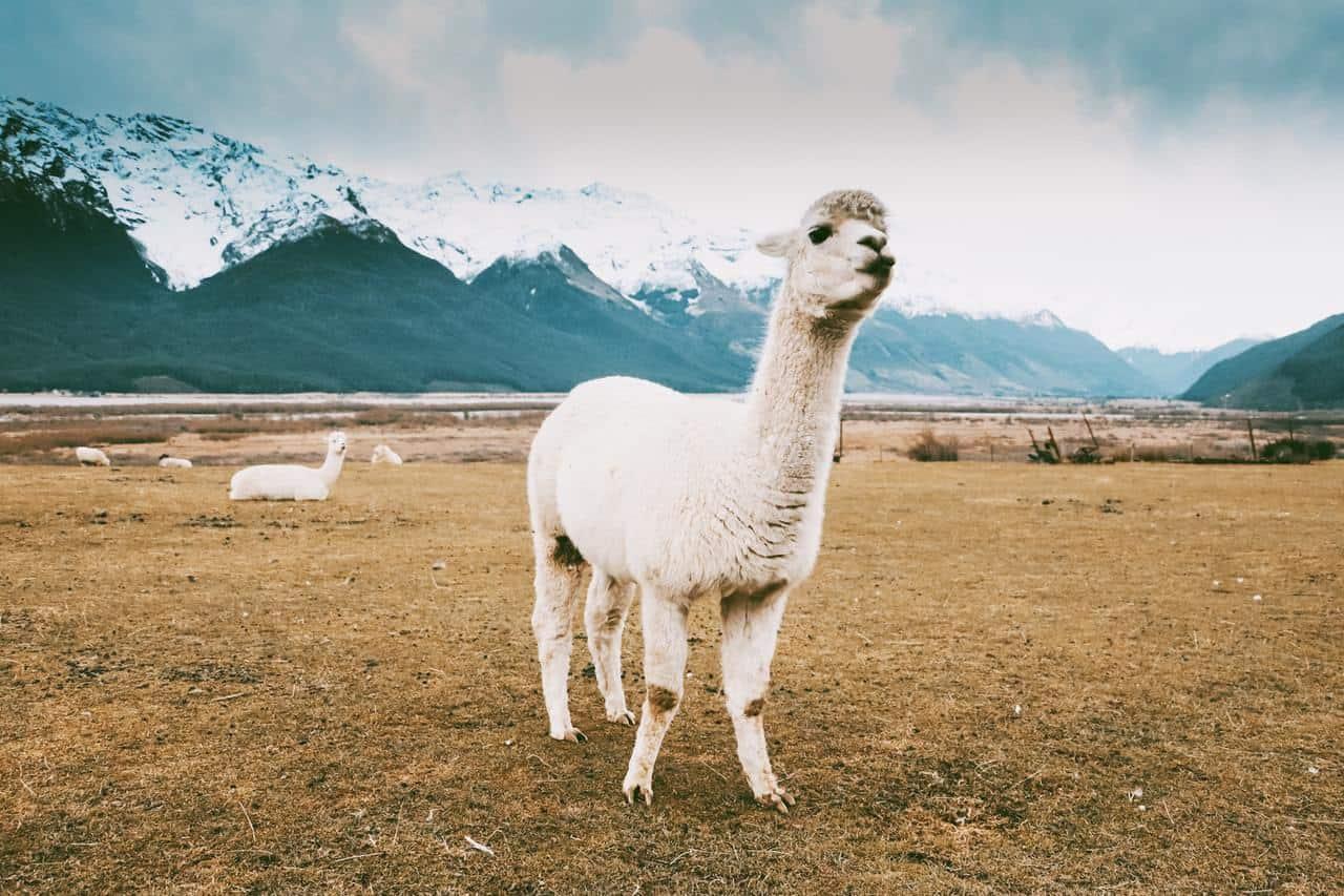 White Llamas