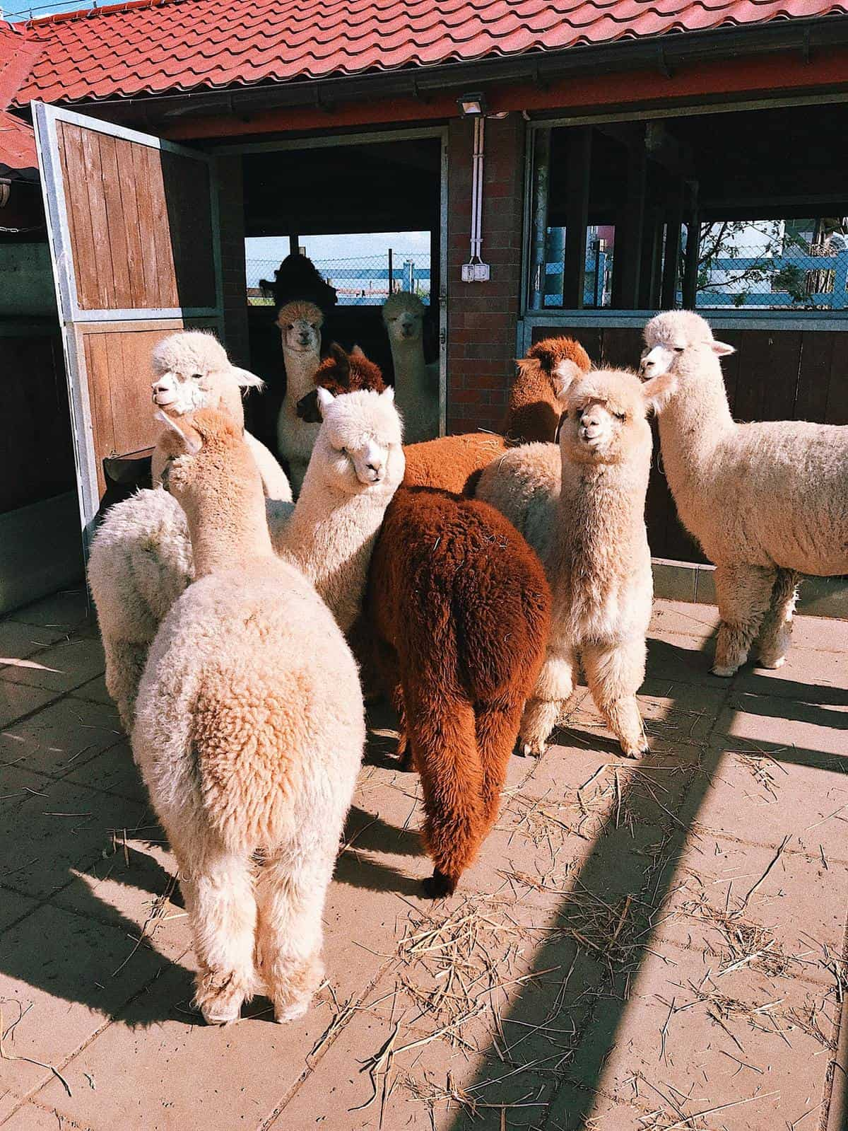 White and Brown Alpacas