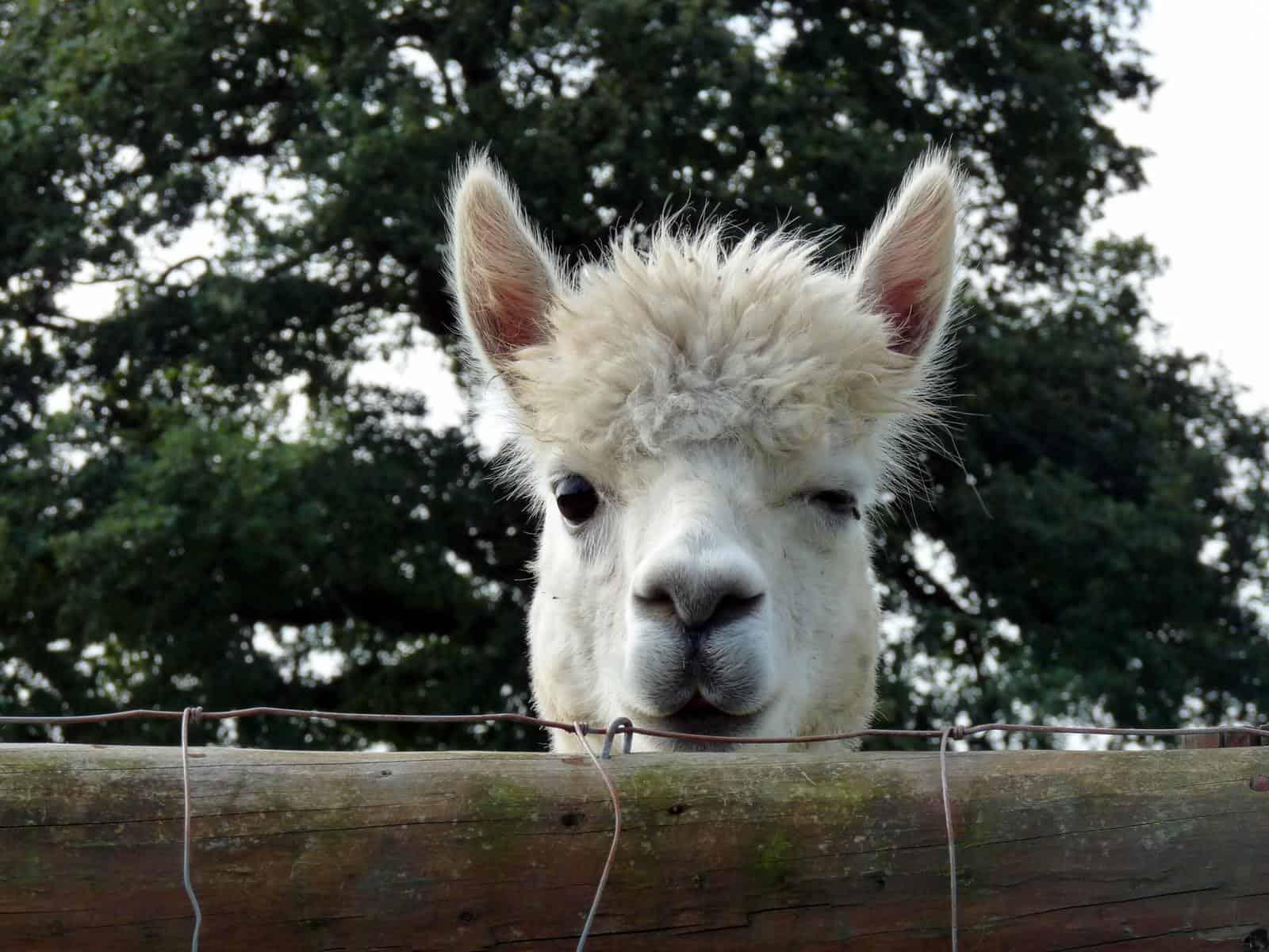 Winking alpaca