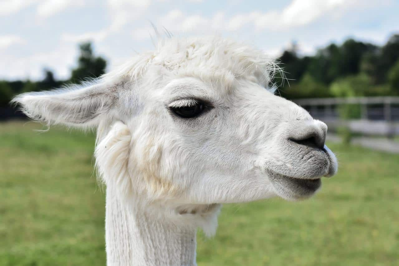 white llama close up