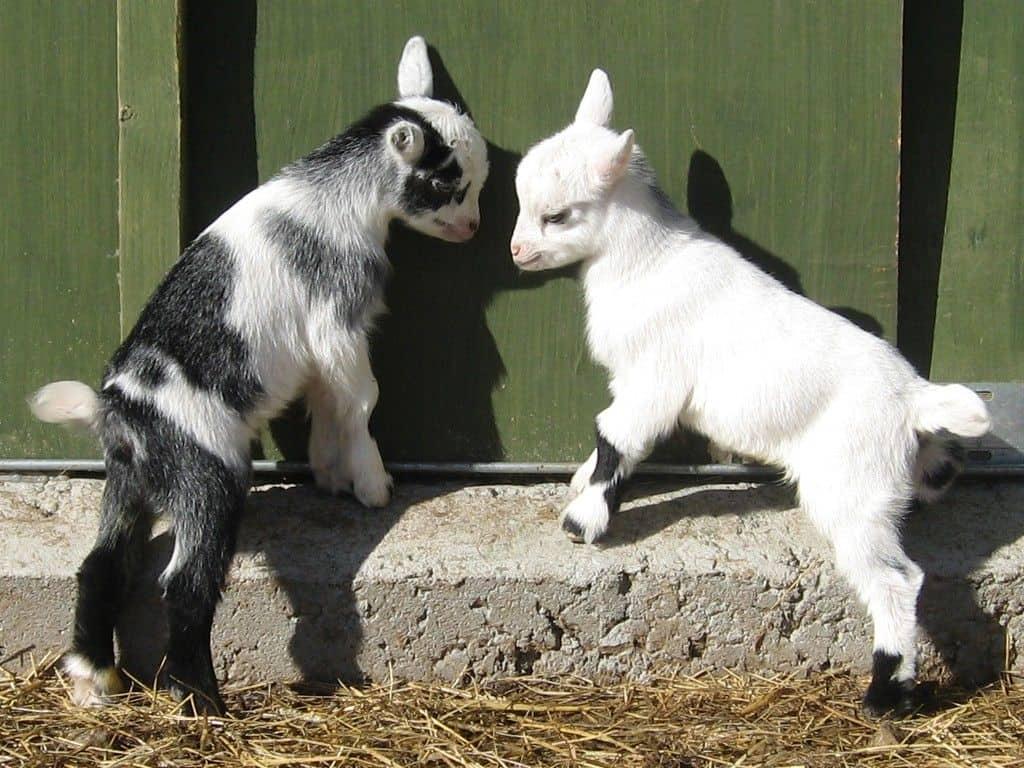 Brucklay Pygmy Goats