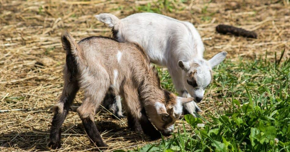 Pygmy Goats Guide