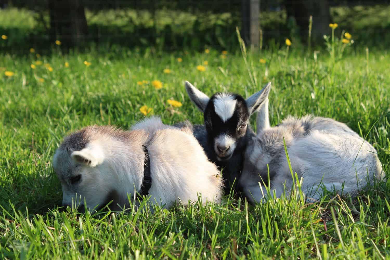 Pygmy Goats at Clark's Ellioak Farm