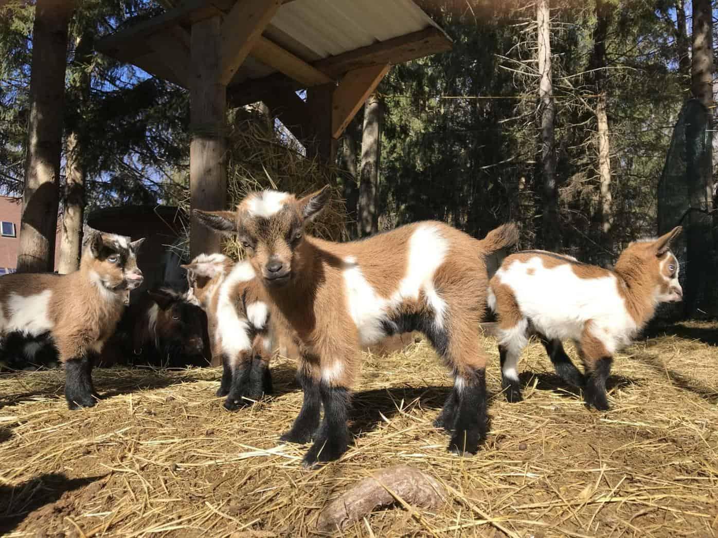 The Ericksons' Pygmy Goats
