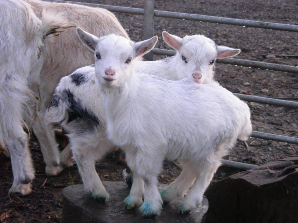 white pymgy goats